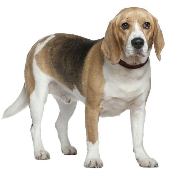 A Beagles Diet Beagle – Small Dog B...