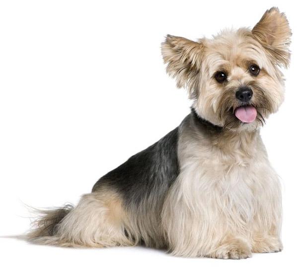 Smallest Toy Dog Breeds List : Biewer terrier small dog breeds