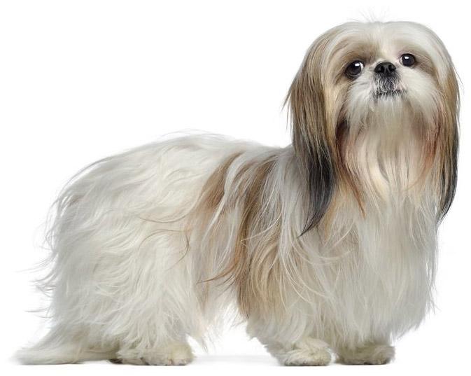 Medium Energy Level Dog Breeds