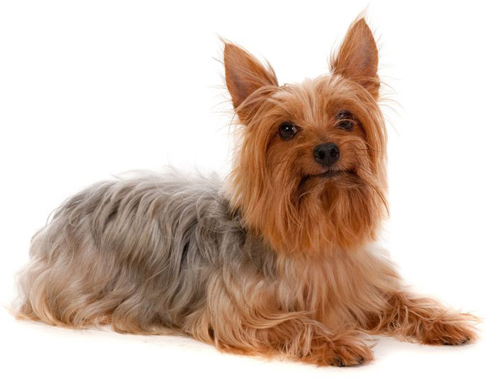 Silky Terrier Small Dog Breeds